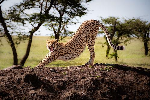 Stretching Cheetah   A stretching cheetah in the Serengeti   Cheetah Photography Print   Tammy Riegel Photography