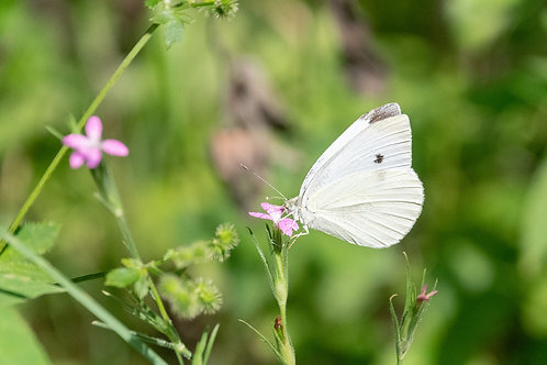 Babbage White Butterfly | Cabbage White Butterfly on Pink Flowers | Butterfly Photo Print | Tammy Riegel Photography