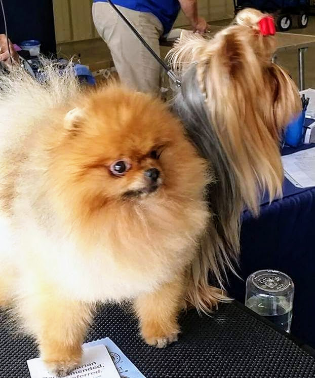 Victor POM and Gracie at show on table