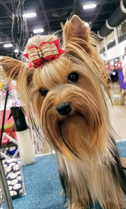 Angus at show with Top Knot and Bow - March 2017