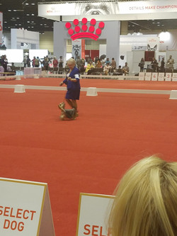 Hope at Royal Canin Dec 2016 shown by Barbara Biessel - Down and Back