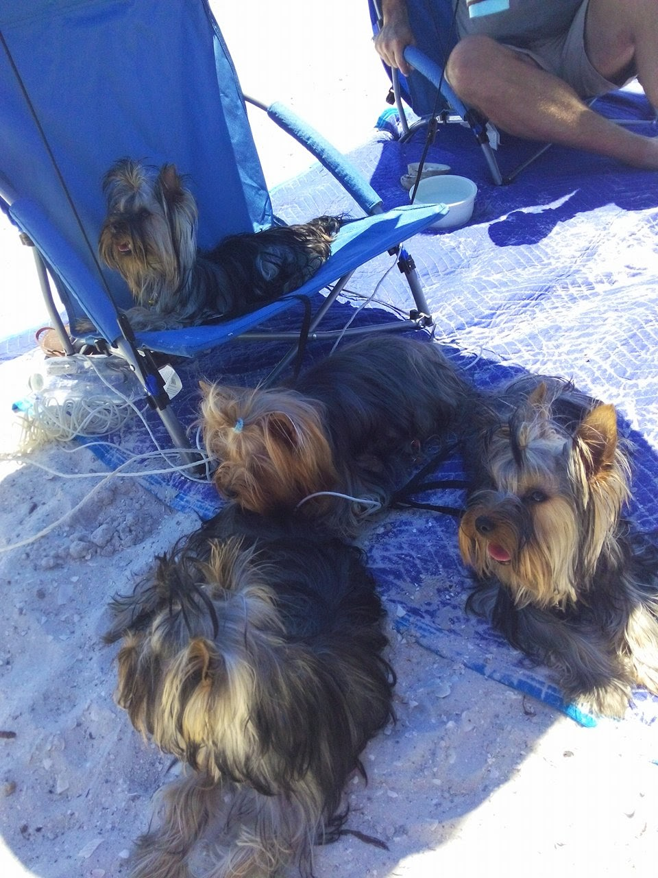 Dogs in the shade at the Beach