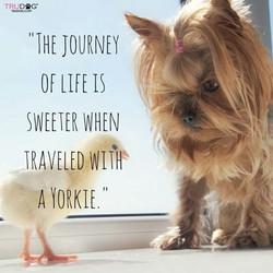 Journey of Life - Yorkie