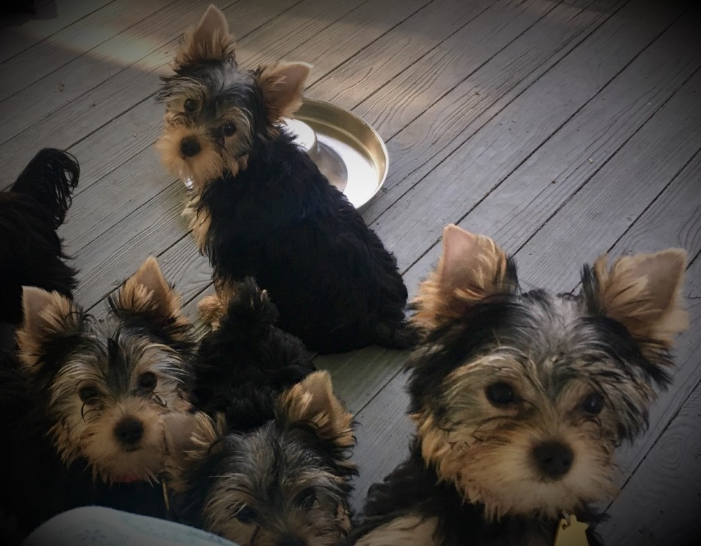 4 out of the 5 Puppies sold from Gracie's 2018 litter.