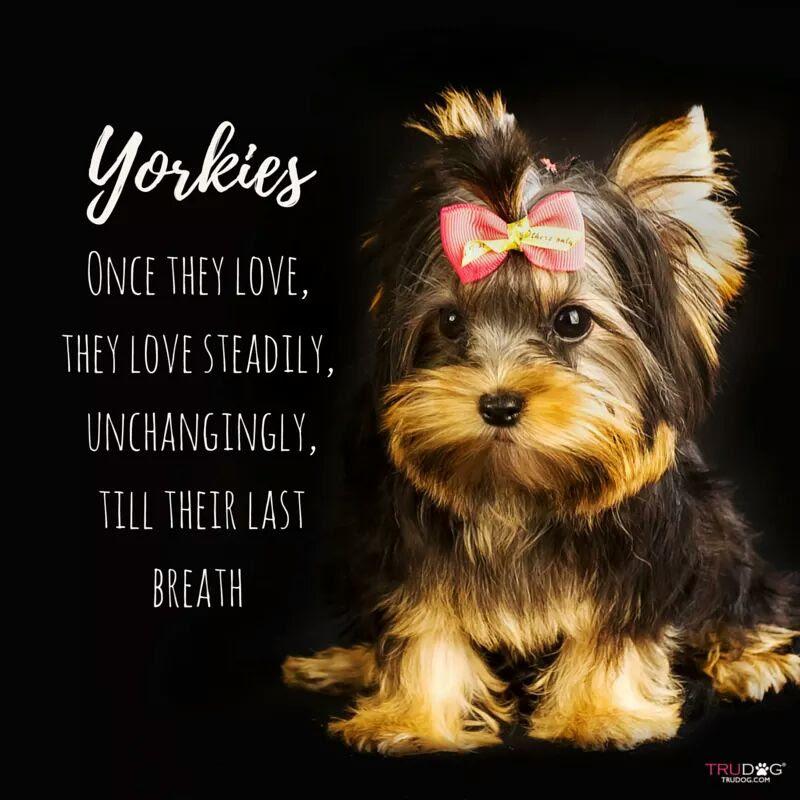 Yorkie Love