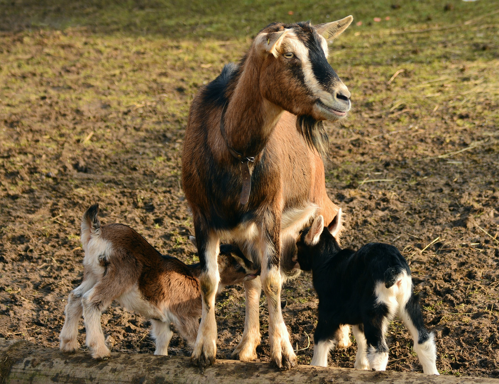 goats-2052731_1920