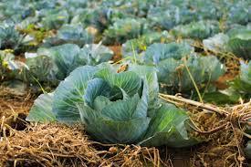 Gifilte Kraut (Stuffed Cabbage Rolls)