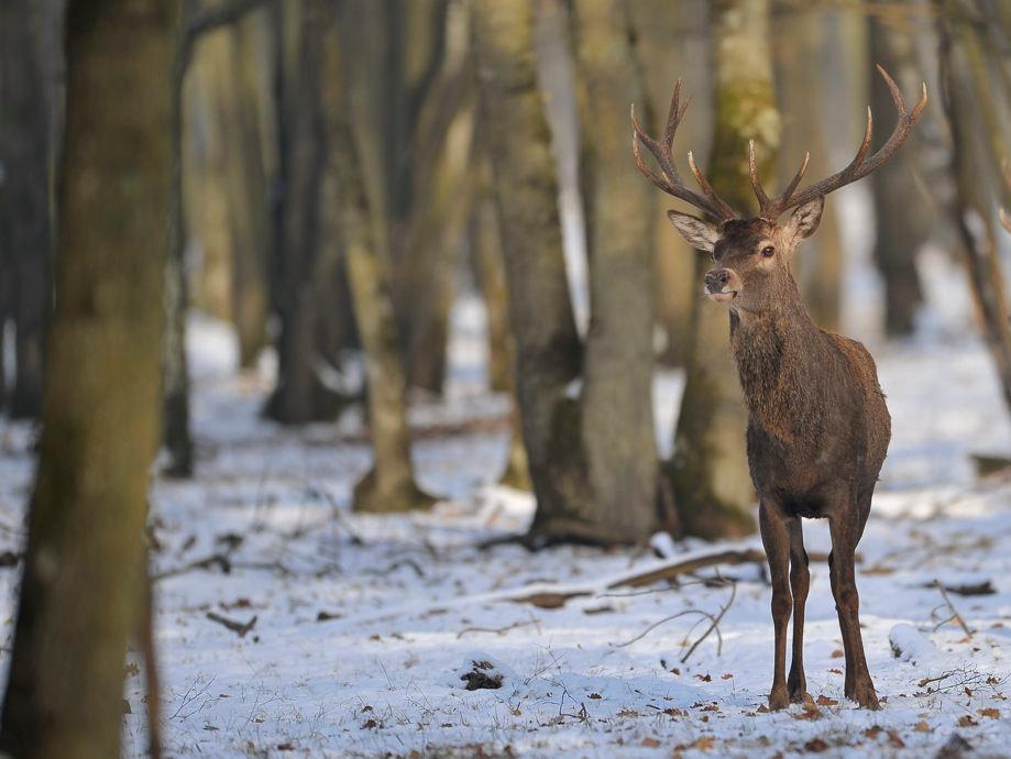 _CCP5560 cerf sous la neige_0014_Wix.jpg