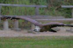 D30_0715 vautour