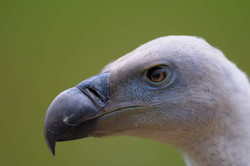 D30_0710 vautour
