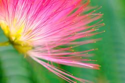 Fleur d'Albizia