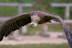 D30_0733 vautour