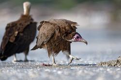 D85_1339_DxO vautour charognard_6801_Int