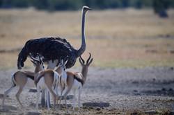 Autruche et springbok