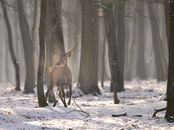 _CCP5470 cerf sous la neige