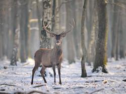 _CCP5477 cerf sous la neige