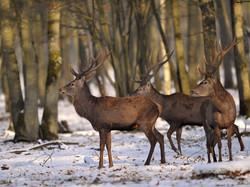 _CCP5555 cerfs sous la neige