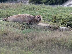 Phoque veaux marin