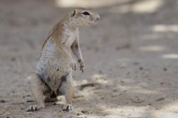 Ecureuil terrestre