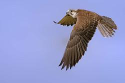 D30_0570 faucon lanier