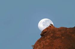 Daman des rochers