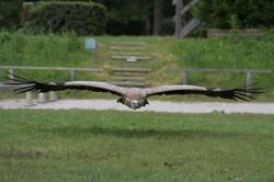 MD5_2863 vautour