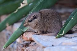 Rat des rochers