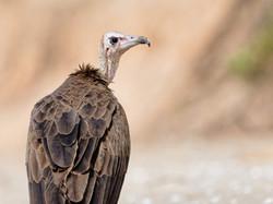 D85_1831_DxO vautour charognard_6838_Int
