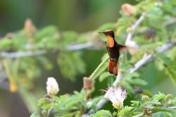 Colibri rubis topaze
