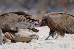 D85_1683_DxO vautour charognard et charo