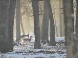 _CCP5245 daims sous la neige