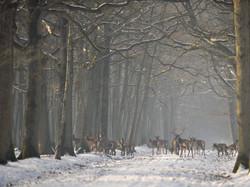_CCP5424 cerfs sous la neige