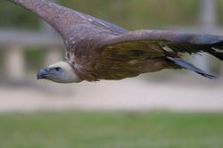 D30_0738 vautour