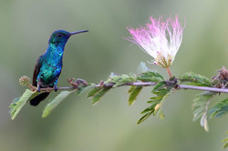 Colibri émeraude à menton bleu
