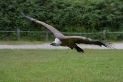MD5_2689 vautour