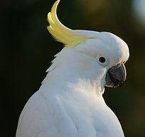 cockatoo-583921_1920.jpg