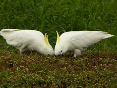 cockatoo-1521092_1920.jpg