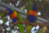 RainbowLorikeets.JPG