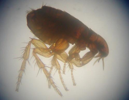 Flea under microscope