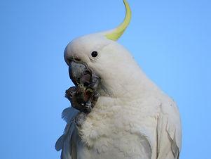 sulphur-crested-cockatoos-2538674_1920.j