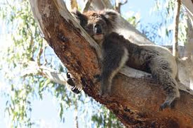 yanchep koala