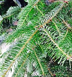 Norwegian Spruce Christmas trees!
