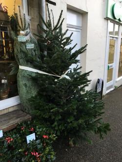 Non-drop British Christmas Trees