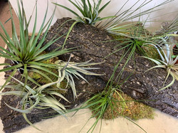 Tillandsias, commonly known as Air Plants