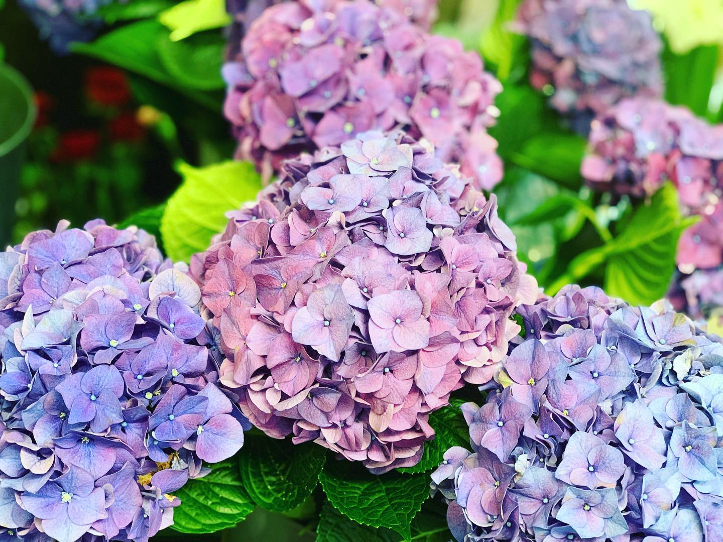 Hydrangea in this week!