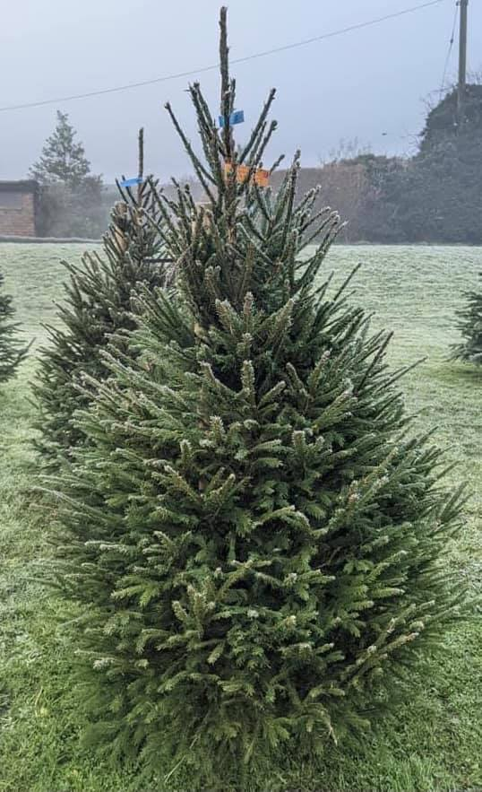 Nordmann Fir ( non drop) Christmas Tree
