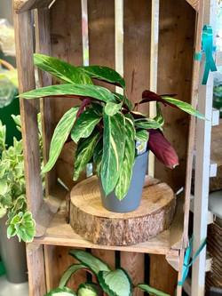 Calathea Plant