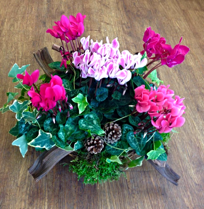 Arrangements of Cyclamen and Ivy