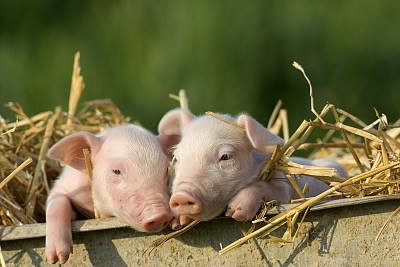 The Effect of Swine Fever on China's CPI