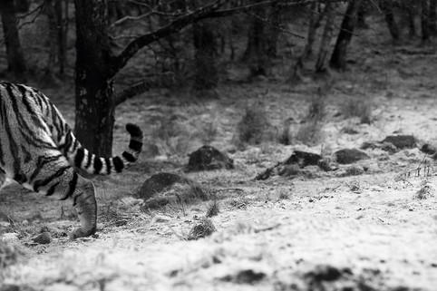 tiger_highland.jpg